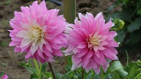 Two Pink dahlia flowers. Botanical farm in Wanaka -New Zealand stock video