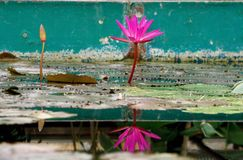 Two Pink exotic waterlilies Stock Images