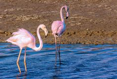 Two flamingo lovers in the lagoon stock photography
