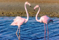 Two flamingo lovers in the lagoon stock photo