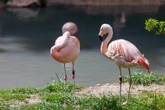 Two pink flamingo Stock Photos