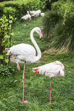 Two pink flamingo standing on one leg Royalty Free Stock Images
