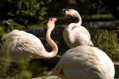 Two pink flamingo Stock Photography