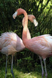 Two pink flamingos Royalty Free Stock Photography