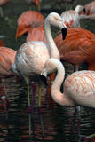 Two pink flamingos Stock Image