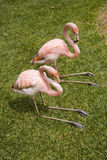 Two Pink Flamingos. Rest on the grass stock image