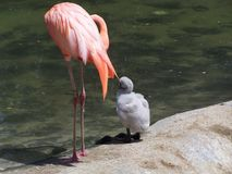 Two Pink Flamingos Stock Images