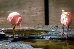 Two pink flamingos around water. In a park Stock Photos