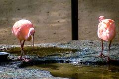 Two pink flamingos around water Stock Photos