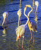 Two pink flamingos communicate with each other Stock Images