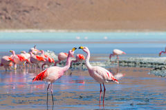 Two pink flamingos at Laguna Colorada on the Bolivian Andes Stock Photos
