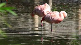 Two Pink Flamingos. In the lake stock video footage