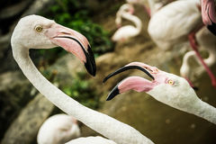 Two pink flamingos Stock Photo