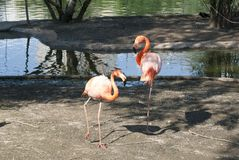 Two pink flamingos. Pink flamingos stand in the water, walking along the shore Royalty Free Stock Images