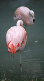 two pink flamingos are resting on one leg Stock Images