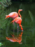 Two pink flamingos Stock Photography