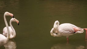 Two Pink Flamingos Stand in Water Clean Feather. Two pink flamingos stand in water and clean feather in tropical park stock video