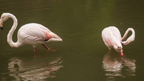 Two Pink Flamingos Stand in Water Clean Feather. Two pink flamingos stand in water and clean feather in tropical park stock video footage