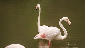 Two Pink Flamingos Stand in Water Clean Feather stock video