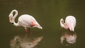 Two Pink Flamingos Stand in Water Clean Feather stock video footage