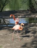 Two pink flamingos. Stand in the water, walking along the shore Stock Photos
