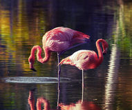 Two pink flamingos standing in the water with reflections Royalty Free Stock Photography