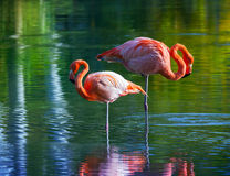 Two pink flamingos standing in the water. Stylized photo Stock Image