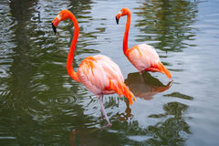 Two pink flamingos walking in shallow water Royalty Free Stock Images