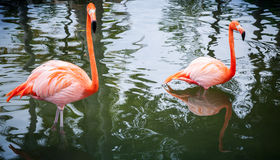 Two pink flamingos walking in the shining water Stock Images