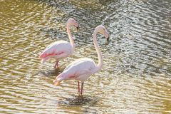 Two pink flamingos walking in the water in natural environment. Wildlife royalty free stock image