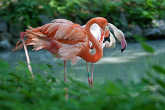 Two pink flamingos Royalty Free Stock Photos