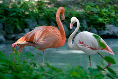 Two pink flamingos Royalty Free Stock Image
