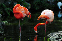 Two pink flamingos in water Royalty Free Stock Photography