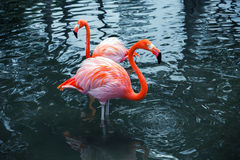 Two pink flamingos in water. Vintage stylized photo Royalty Free Stock Photography