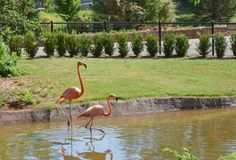Two pink flamingos at the zoo Royalty Free Stock Images