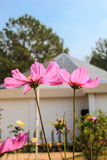 Pink flower. Two pink flowers against the sky Royalty Free Stock Images