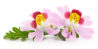 Two pink flowers. Stock Image