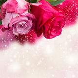 Two pink  flowers close up Royalty Free Stock Photography