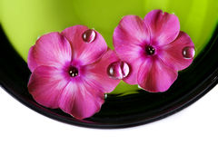 Two pink flowers with dew drop. Pink flowers with dew drop in a bowl with water Stock Photo