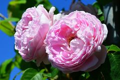 Two pink flowers of rose Constance Spry, Austin 1960 with leaves against blue sky Royalty Free Stock Photo