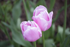Two pink flowers Stock Photo
