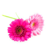 Two pink gerber. On white background royalty free stock photography