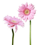 Two pink Gerber daisy flowers Royalty Free Stock Photos