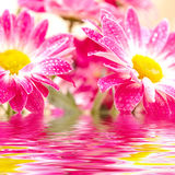 Two pink gerbera. Close-up of two pink daisy-gerbera  reflected in the water Stock Photo