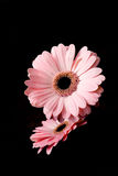 Two pink gerbera on black Royalty Free Stock Images