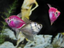 Two Pink Glow Fish and Black Widow Tetra in an Aquarium. Close-up of Two Pink Glow Fish and a Black Widow Tetra in an Aquarium Stock Images