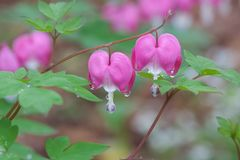 Two pink bleeding hearts. Two pink heart-shaped pink bleeding heart flowers stand out against their green leaves. A droplets morning dew hang below the flower royalty free stock image