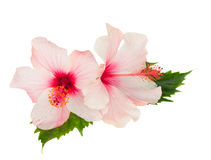 Two pink hibiscus flowers with leaves Stock Photo