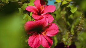 Two pink Hibiscus flowers. Slide closer stock video footage