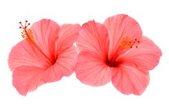 Two pink hibiscus Royalty Free Stock Image
